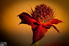 This is a Bee Bomb Flower . . . very alien-looking, very striking, and hummingbirds like them.