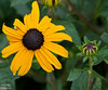 I find Black Eyed Susan flowers the hardest ones to shoot and depict in a flattering way.  I like the flowers from a distance, but close-ups are never quite what I imagined they would be.