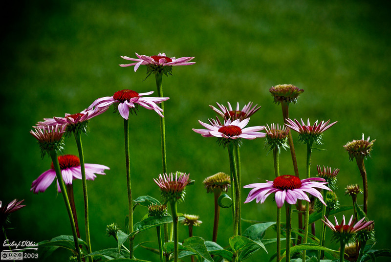 "Cone Flowers have the widest range of ""looks"" from when they start to open to the end of their bloom."