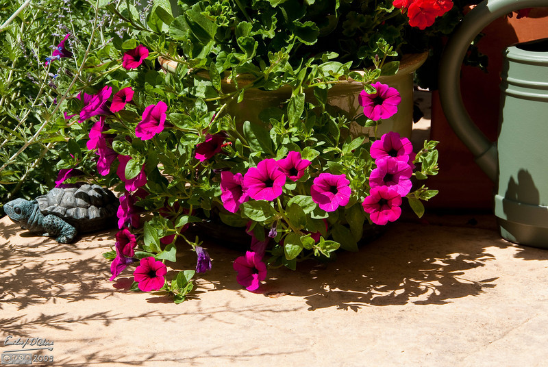 Probably the most photographed of all are these Petunias . . . or the other Petunias that look like this.