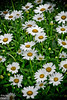 Or Daisies  . . . I really like Daisies.