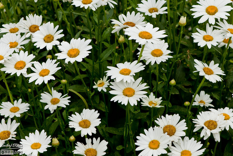 See, what did I tell you?  . . . Daisies . . .