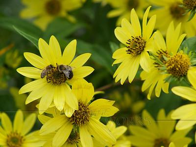Bees on Tickseed