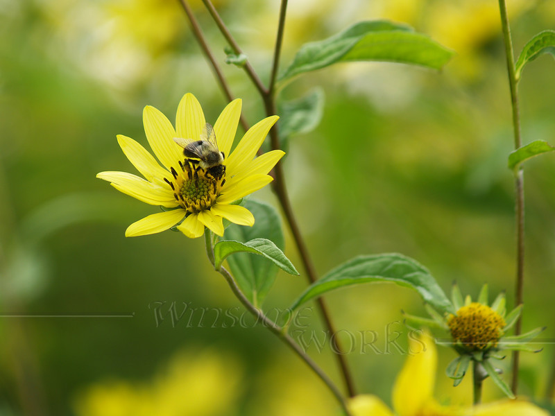 Bee on Tickseed