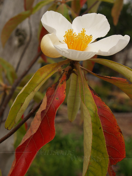 Franklin tree (Franklinia alatamaha) - Linden Hill Gardens, Ottsville, PA