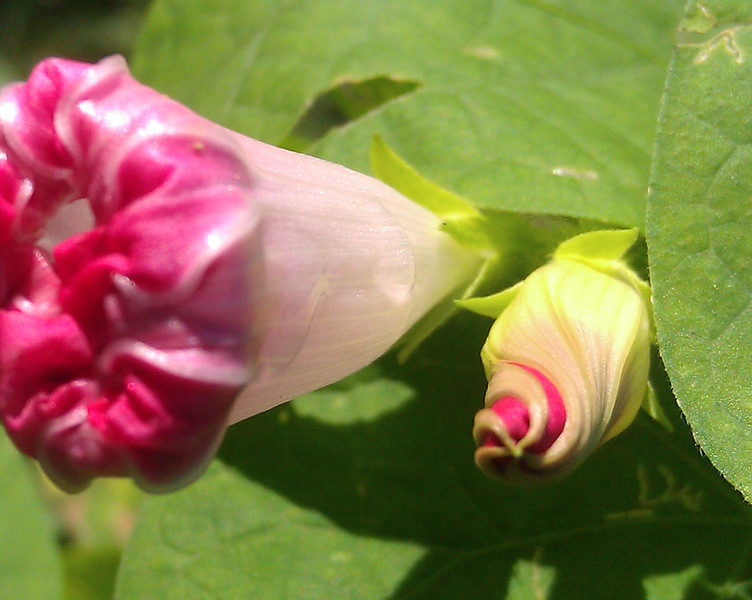 Wild morning glory buds - shot with smartphone