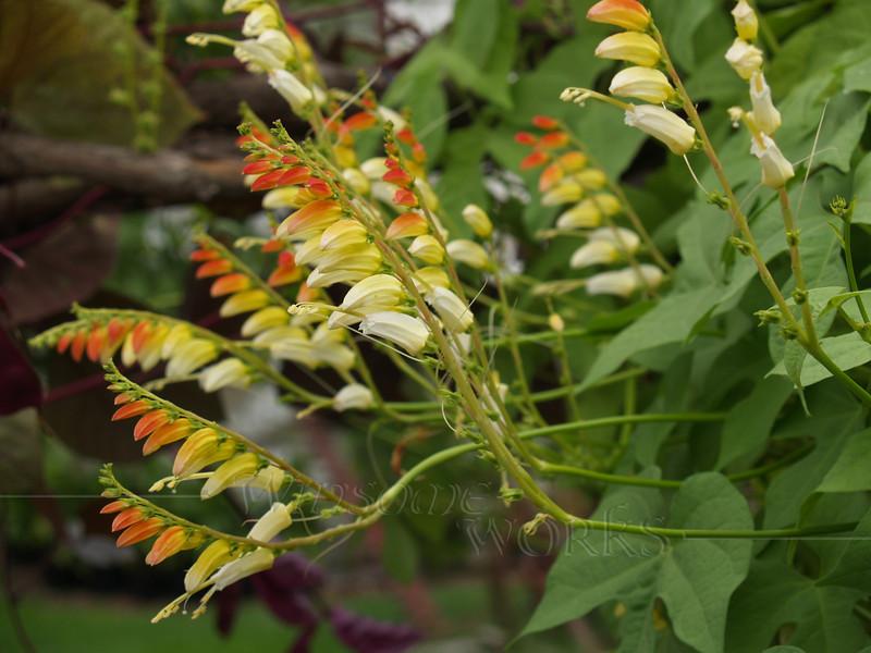 Firecracker vine or Spanish flag ( Ipomoea lobata )
