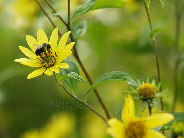 Bumblebee on Tickseed; Ottsville, PA