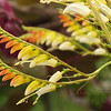 Firecracker vine or Spanish flag ( Ipomoea lobata )