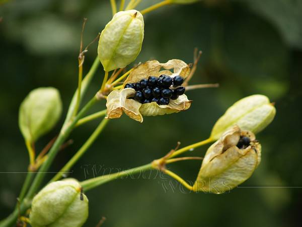 Chinese ornamental lily or blackberry lily... gone to seed. (Belamcanda chinensis; actually in the Iris family)