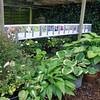 moerplanten van hosta's