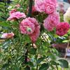 Rosa 'Pirontina'