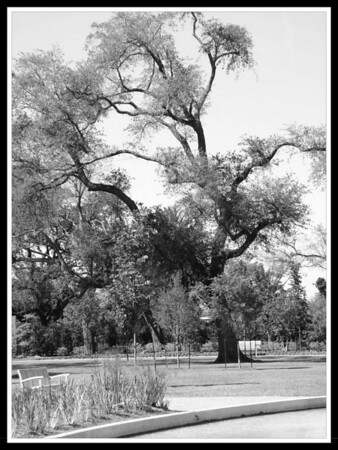 Wendi's Obligatory BW Oak Tree Pic