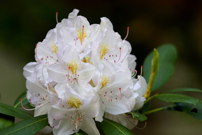 Rhododendron, Mountain Rosebud