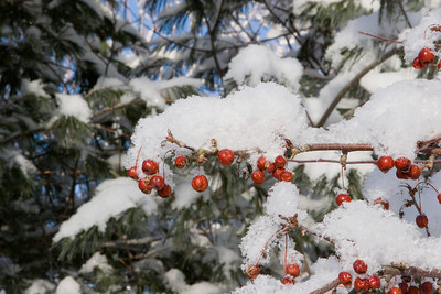 Crabapples In Snow #4