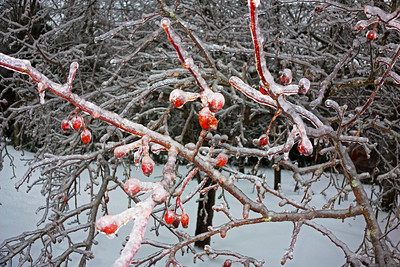 Crabapples in Ice