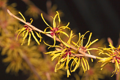 Vernal Witch Hazel