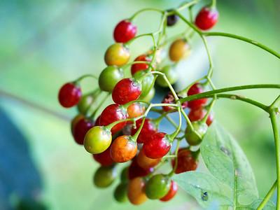 Nightshade Berries, Solanum dulcamara (Toxic)