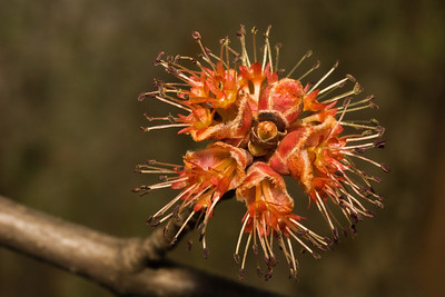Red Maple Tree Blossoms - Uncountable numbers of these turn the New England hillsides a reddish tinge in the spring.