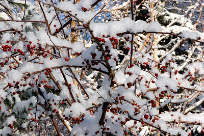 Crabapples In Snow #5