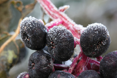 Frosted Poke Berries, Phytolacca americana