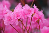 Rhododendron, 'Jane Grant'