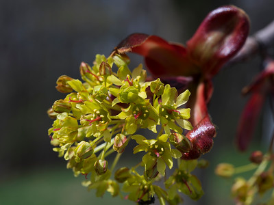 Norway Maple Tree Bud and Blossom