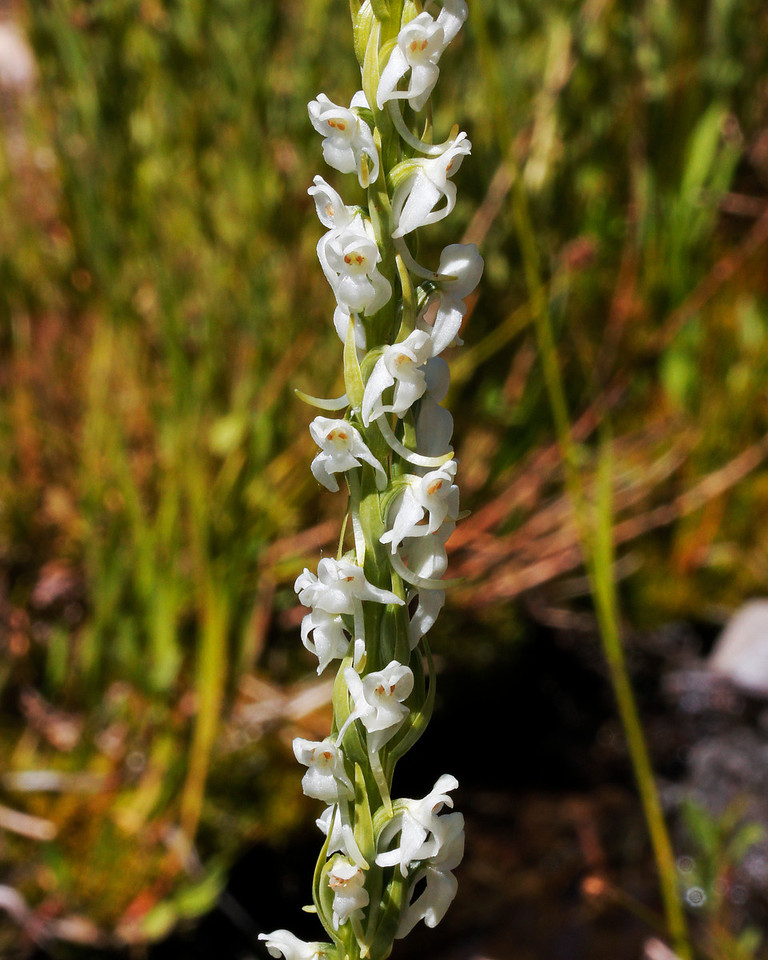 White Rein Orchid
