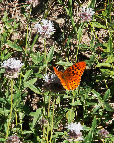 Great Basin Fritillary Butterfly on Pennyroyal