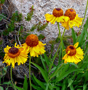 Bigelow Sneezeweed, Wonder Lakes, Inyo National Forest.
