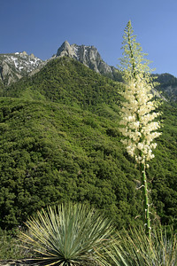 Our Lord's Candle, Yucca, Middle Fork Kaweah, Sequoia National Park.
