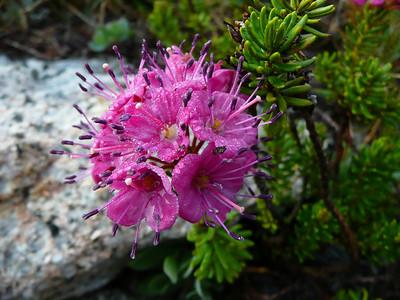 Red Mountain Heather, Yosemite.