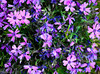 We have different color phlox throughout the front flower beds.