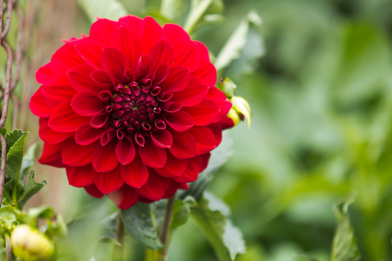 Red Dahlia of some sort (name unknown)