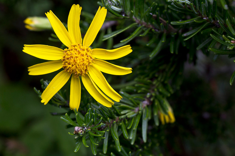 Arrowleaf Groundsel (Senecio triangularis)