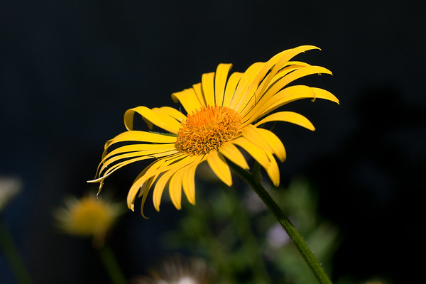 Some kind of yellow daisy (unnamed at this point)