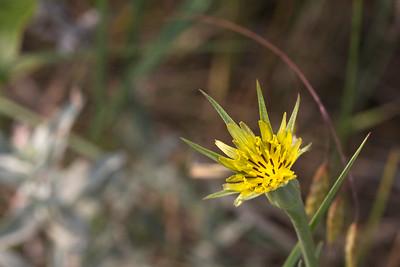 Yellow Salsify - Tragopogon dubius