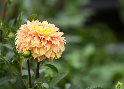 Dahlia of some sort (unknown)