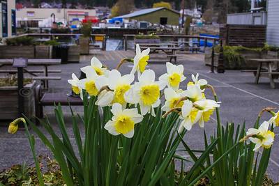Daffodils @ LaConner, WA 03/2014