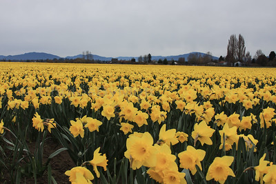 Daffodils in the Skaget Valley Mt. Vernon, WA 03/2014