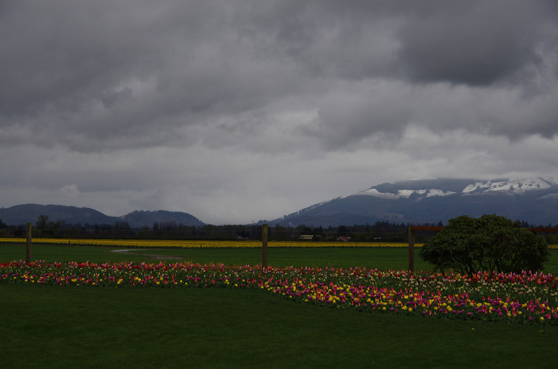 Tulips and Daffodil fields