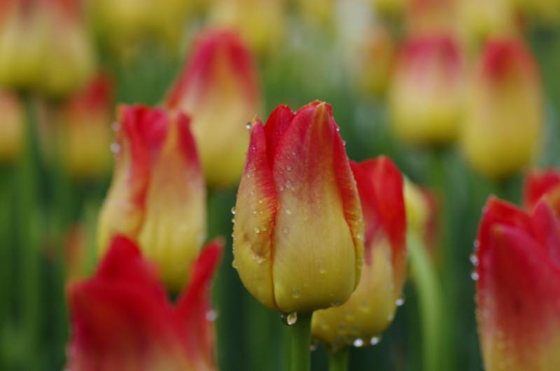 Tu;lip Garden after the rain