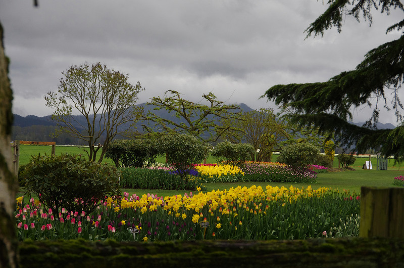 splash of yellow tulips