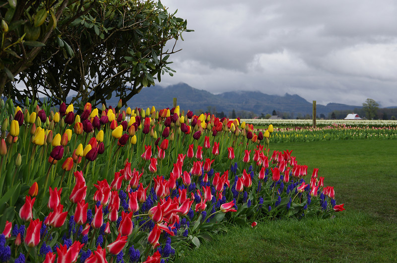 Tuliips and more tulips