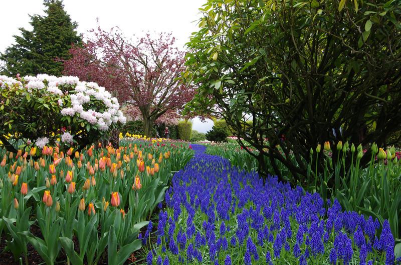 Grape Hyacinth Pathway