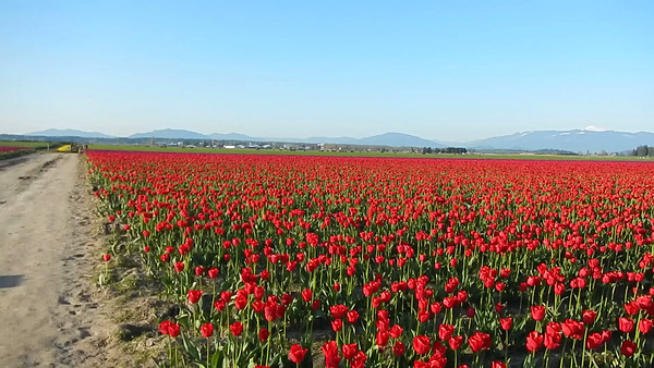 Skagit Valley Tulips, Mount Vernon WA