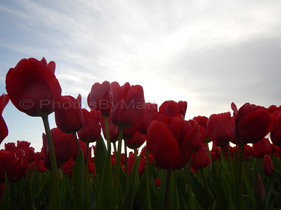 """Tulip Town"" in Mt. Vernon"