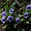 Beaked Violet (Viola rostrata), Chestnut top Trail