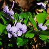 Beaked Violet (Viola rostrata), Porters Creek Trail