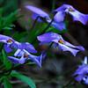 Bird's Foot Violet (Viola pedata), Laurel Falls Trail